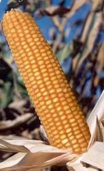 семена кукурузы первого поколения—гибрид Порумбень 212 СВ