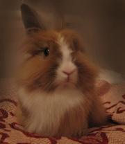 декоративная карликовая крольчиха