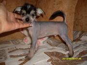 Китайская хохлатая собачка щеночки г.Минске
