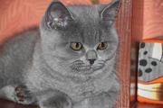 Британские плюшевые котята (мальчики)