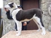 щенки Среднеазиатской овчарки от чемпионов