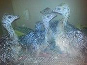 продам  страусов  любого  возраста .страусиные яйца