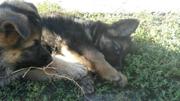 Чистопородистые щенки немецкой овчарки